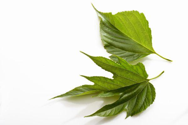 青汁桑の葉2