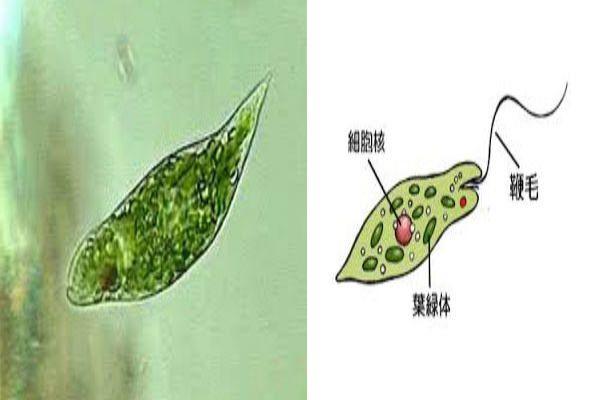 青汁・ユーグレナ(ミドリムシ)3