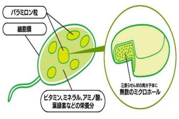 青汁・ユーグレナ(ミドリムシ)11